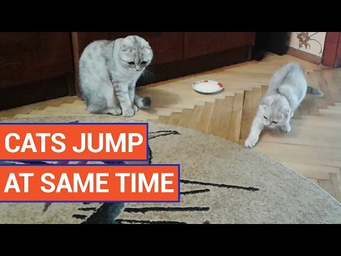 Adorable Gray Kittens Jump At The Same Time | Daily Heart Beat