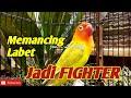 Pancingan Suara Lovebird Jitu Memancing Labet Jadi Fighter Ngetik Dan Ngekek Panjang  Mp3 - Mp4 Download