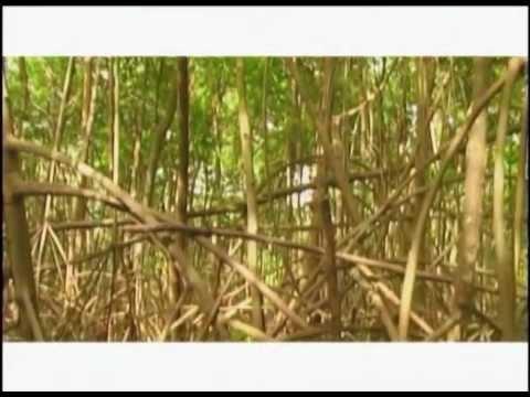 Natural Wonders of the Caribbean (2005) - Mangrove Swamps
