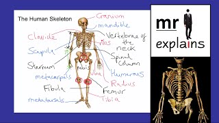 mr i explains: The Bones of the Human Skeleton (with a few random facts on the side!)
