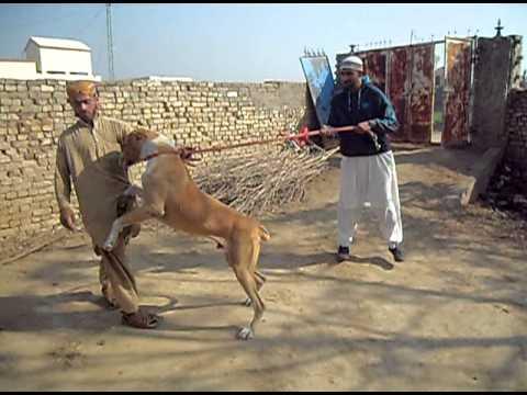 my bully kutta in pakistan 2 - YouTube