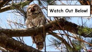 Barred Owl Regurgitating a Pellet