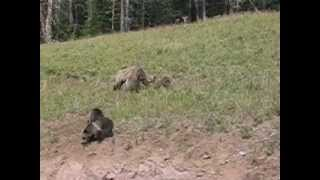 Grizzly Bear Cubs In The Wild! - Yellowstone National Park