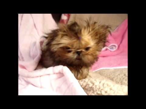 Tiny Tot Shih-Tzu: Too Cute For Words - Cutest Puppy Ever!
