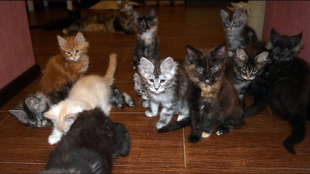 Кошка Мейн кун - YouTube