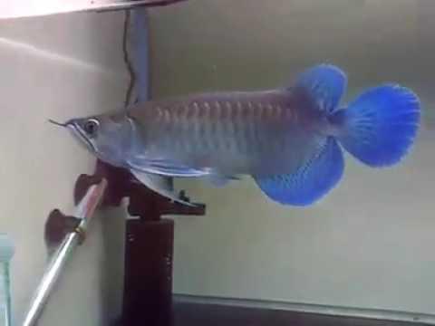 Blue Arowana