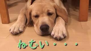 大型犬、ラブラドールレトリバーのリリーです。眠くてたまらず、ウトウ...
