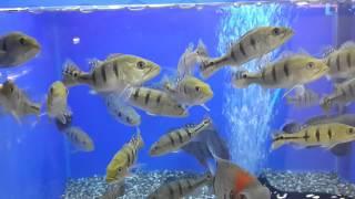 Цихла Келбери (Cichla kelberi)(Аквариумный магазин «АкваРиф Шоп» предлагает аквариумных рыб: Цихла Келбери (Cichla kelberi) в размере 15-16см...., 2015-02-02T00:24:33.000Z)