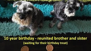 Adorable Dog Greeting - Long Lost Miniature Schnauzer Brother & Sister