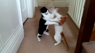 Crazy Cats Play Fighting | 4K