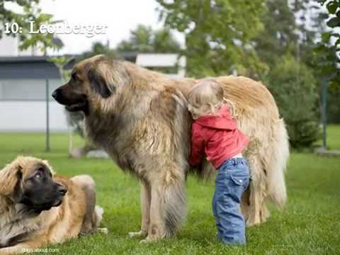 Top 11 Tallest Dogs
