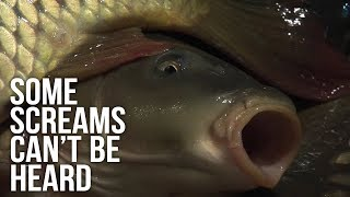 Do Fish Feel Pain? Some Screams Can't Be Heard