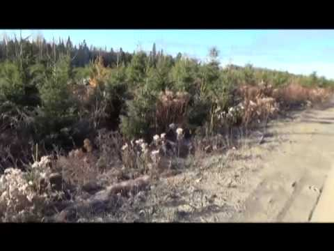 November Cow Moose Hunt – 2013 – 739lbs