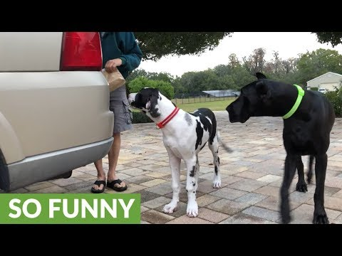 Excited Great Danes Love Eating Chicken Fingers