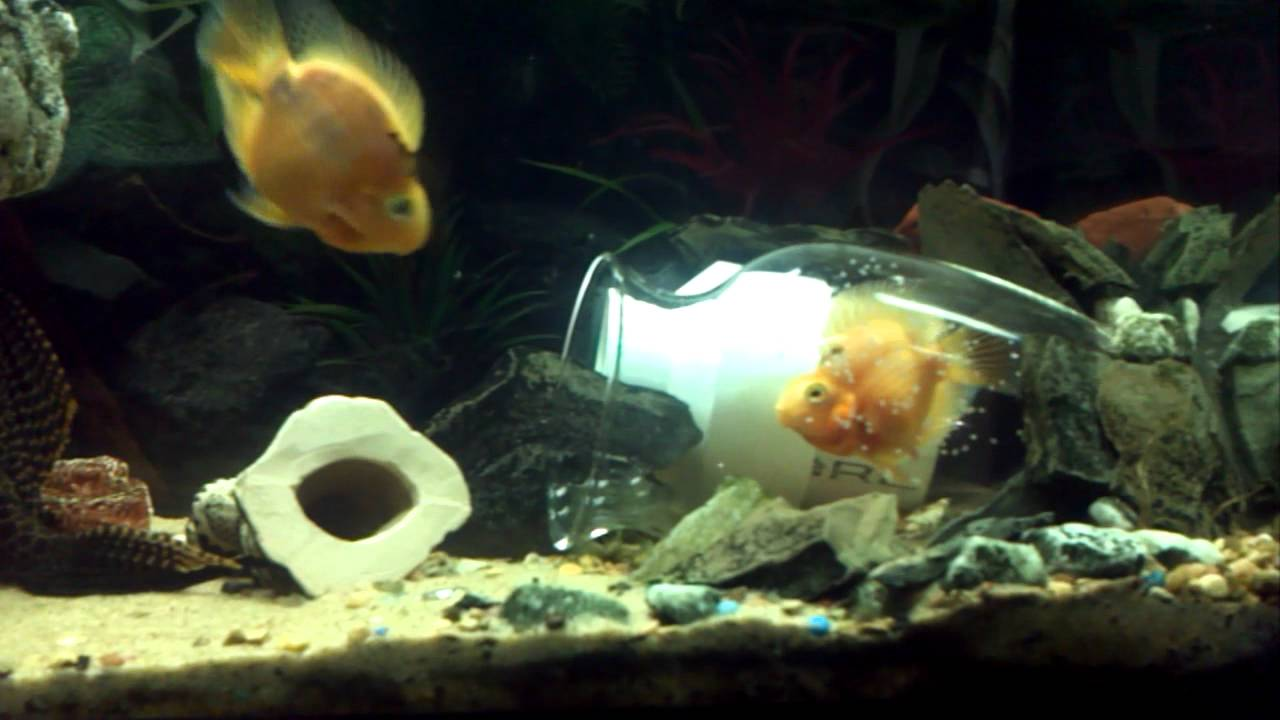 Red blood parrot fish laying eggs - YouTube
