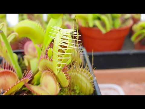 Охота Хищных Растений   Венерина Мухоловка ест мух