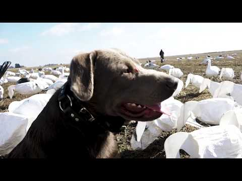 Hunting Snow Geese In Arkansas | Cabela's Northern Flight