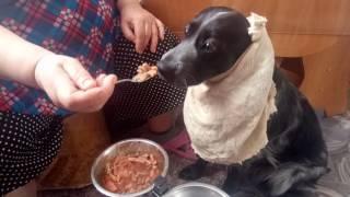Собаку кормят ложкой