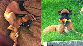 The Ultimate Boxer Dog Compilation 2020  Try Not To Laugh