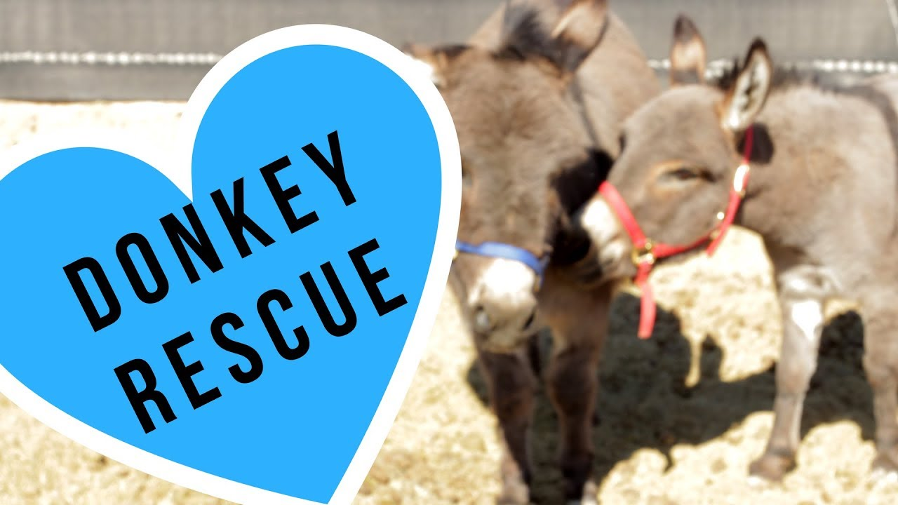 Rescued Miniature Donkeys on a farm in Pahrump