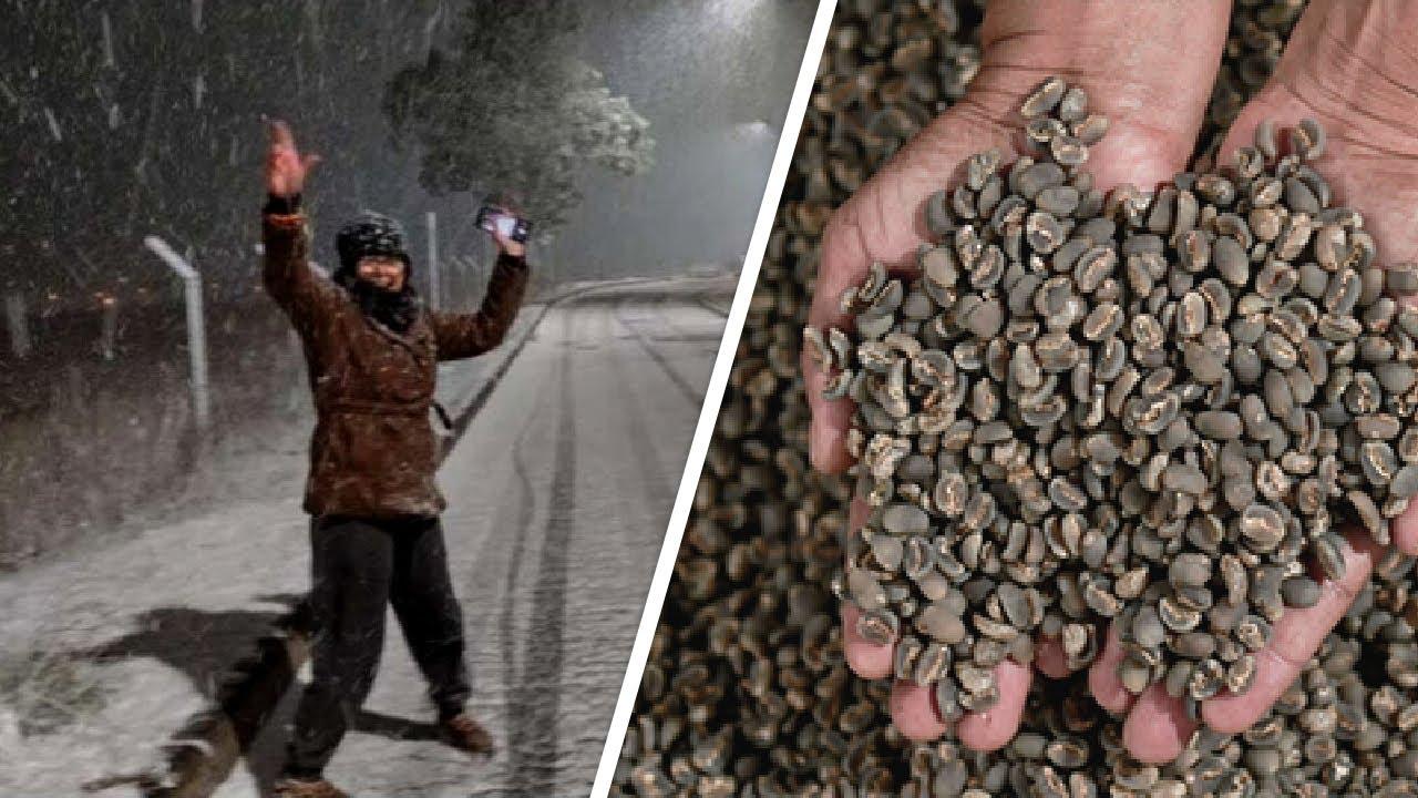 Бразилию накрыл снег и холода. Гибнет урожай кофе