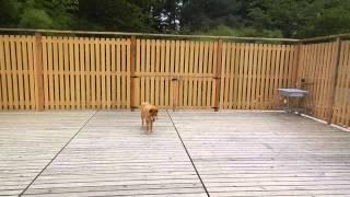 夏の間、建設していた日本犬エリアが完成し日本犬トリオが移動してきま...