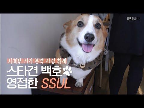 50만 팬 거느린 스타견(犬) 웰시코기 백호를 �