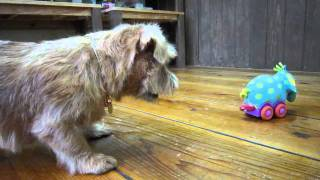 サロンで人気のないSassyのぞうさん。動くおもちゃがわんちゃんは苦手な...