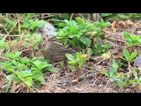 Lanceolated warbler マキノセンニュウ