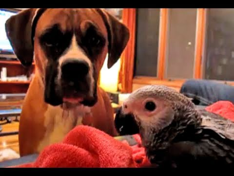 A Boxer Kisses an African Grey Parrot