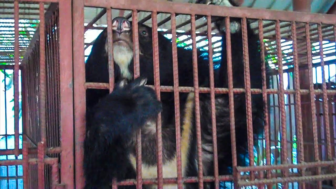 Saving Bears In The Wildlife Trade Across Asia | Bears About The House | BBC Earth