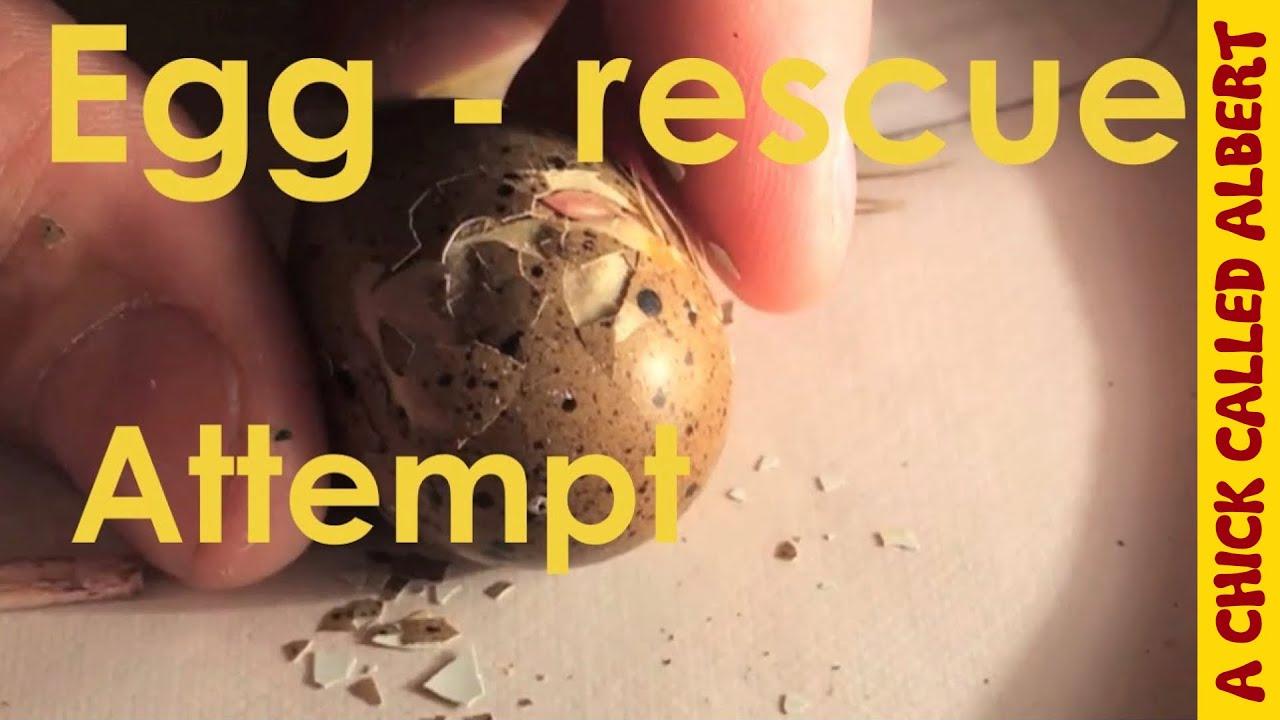 Do not help a hatching egg