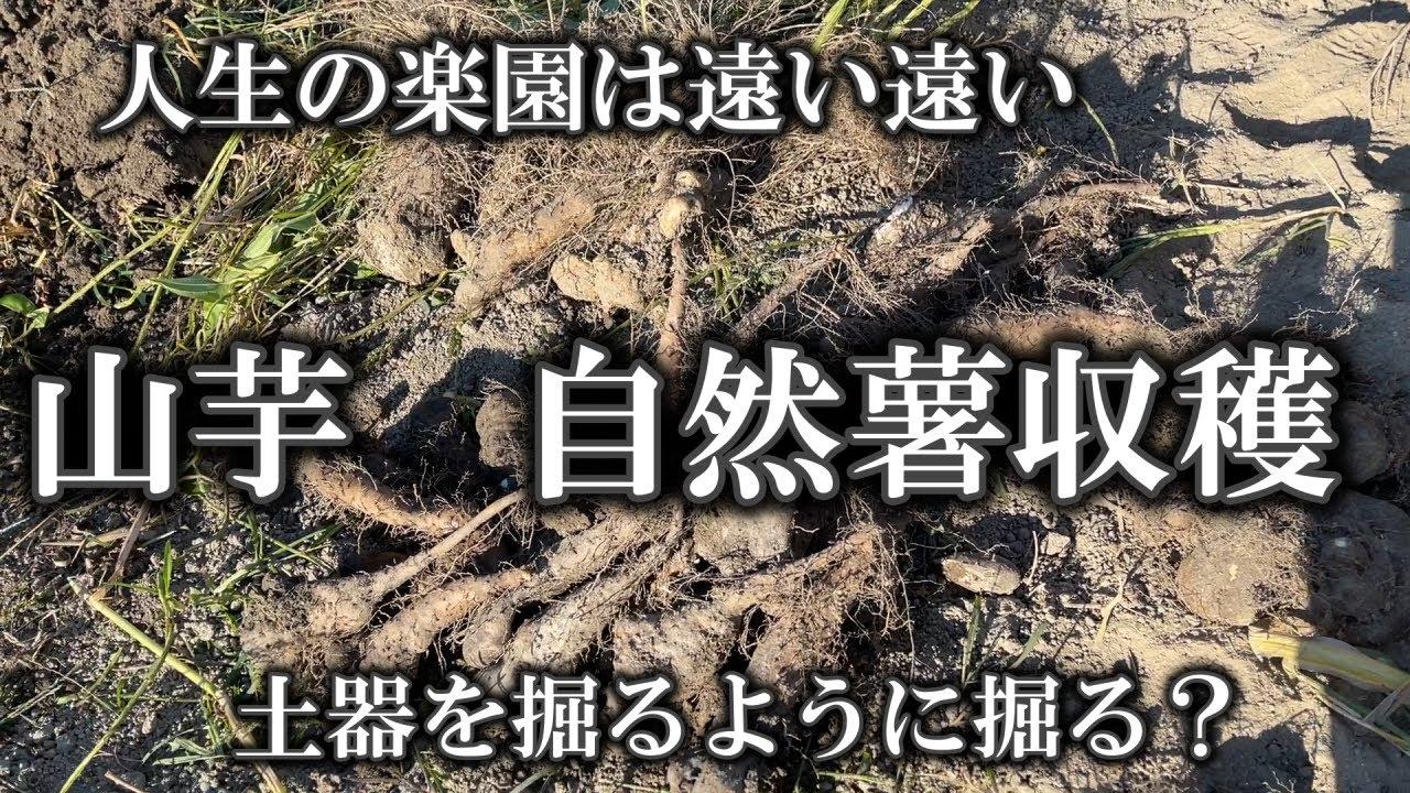 【自然薯 山芋収穫】ほとんど面倒見れなかった山芋系と自然薯です。やってみると意外とできるかも?