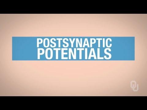 Human Physiology - Excitatory Postsynaptic Potentials