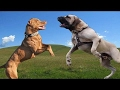 Pitbull vs Fila Brasileiro - Who would win in a Fight? [Mr Friend]