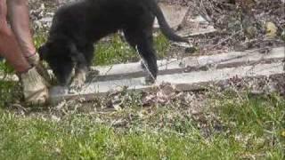 |sadie- 12 Weeks Old - Border Collie German Shepherd Mix|