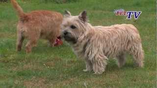 Cairn Terrier: Informationen Zur Rasse