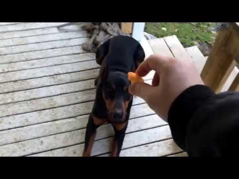 obedient-doberman-pinscher-doing-tricks,-lay-down-and-wait