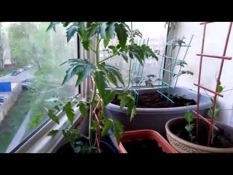 ДаЧа на балконе - 3 (tomatoes on the balcony) - видео на kri.