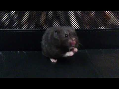 Black Hamster Rodent