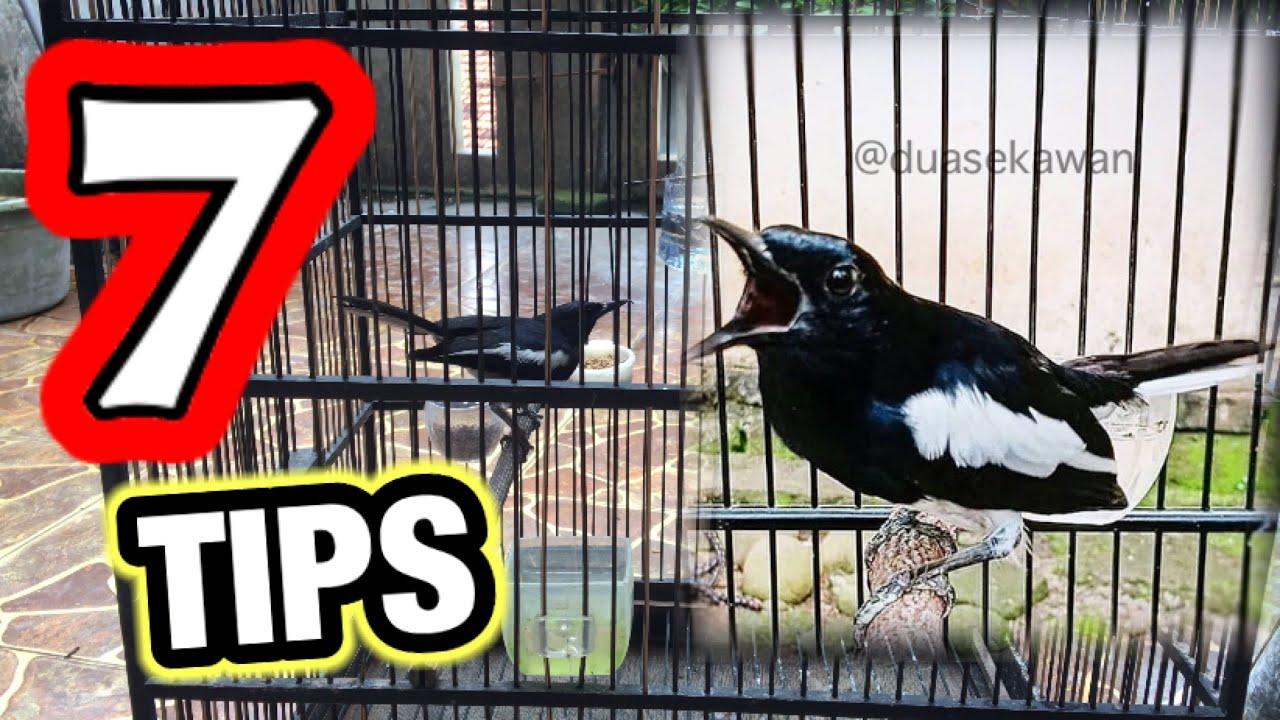 Cara Merawat Burung Kacer Agar Cepat Gacor Bermental Juara Youtube