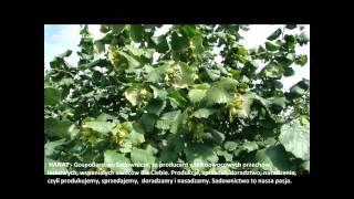 Orzechy laskowe cały sezon w sadach producenta