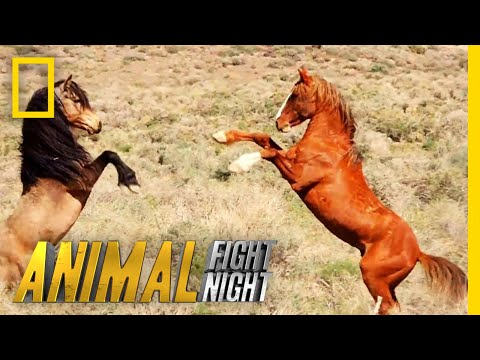 That's Some Dangerous Horseplay | Animal Fight Night