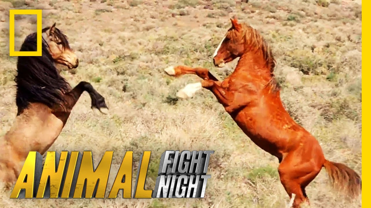 Watch Animal Fight Night on National Geographic