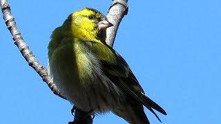 Чиж - птицы весной, Siskin - birds in the spring