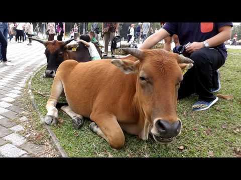 Po Lin Monastery cow