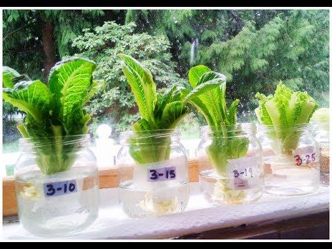 regrow lettuce in days youtube. Black Bedroom Furniture Sets. Home Design Ideas