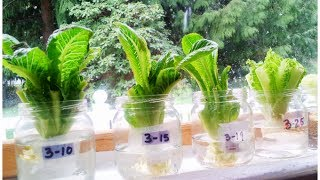 Regrow Lettuce in Days!