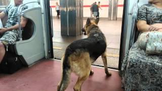 Собака по метро гуляка