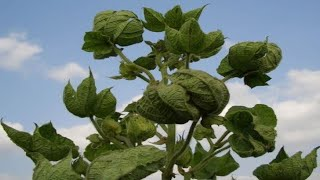 Leaf Curl Virus In Cotton Crop being shifted by Whitefly In Sindh. Pata Lapait virus.
